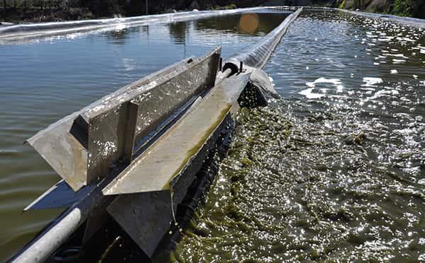 Cómo se cultiva el alga espirulina ASN
